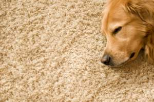 A big dog sleeping on a cosy carpet